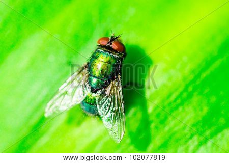 Closeup Macro Image Of A Green Bottle Fly