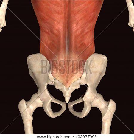 skeleton hips parts