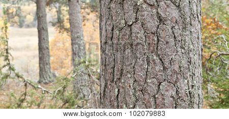 Close up, macro of a pine trunk.