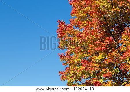 Colorful Maples Trees In Canada In The Fall