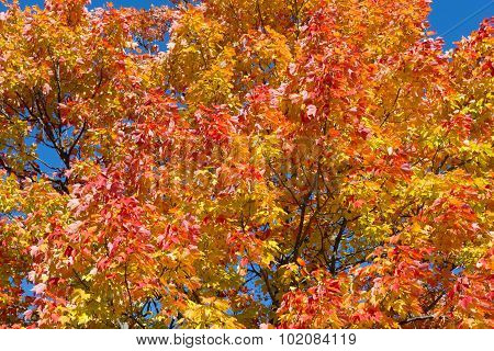 Colorful Maples Trees In The Fall