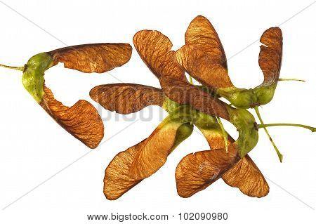 Maple Seeds.