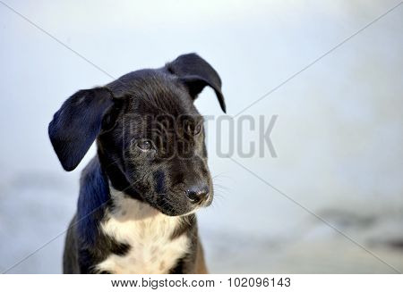 Cute Puppies of Amstaff dog animal theme