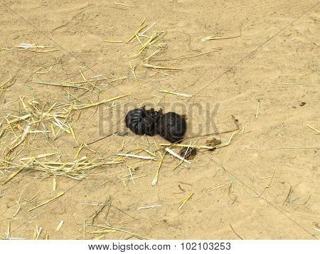 Photo Of Zebu (humped Cattle) Excrement On Sand