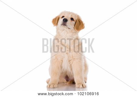 Golden Retriever puppy Sitting And Looking Up Isolated On White Background
