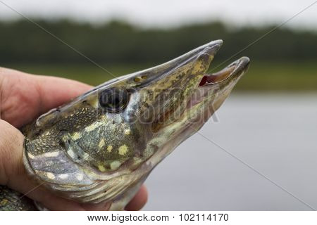 Pike in hand.