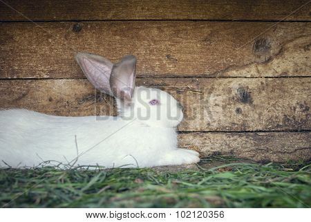 White rabbit in a hutch
