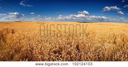 Golden Wheat Field Panorama Before Harvest