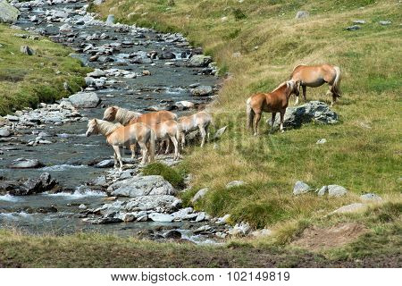 Herd Of Wild Horses On A Riverbank
