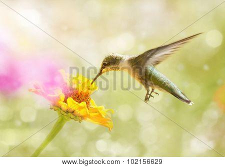 Dreamy image of a juvenile male Ruby-throated Hummingbird feeding on an orange Zinnia flower
