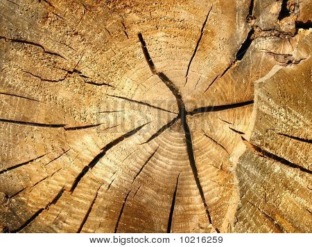 Cross-section of an old tree trunk