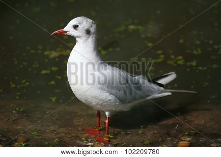 Black-headed gull (Chroicocephalus ridibundus) in winter plumage. Wild life animal.  poster