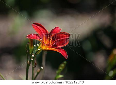 Orange day lily, Hemerocallis fulva