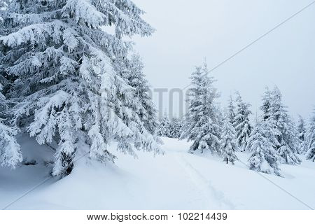 Winter landscape with footpath in the snow. Snowy spruce forest