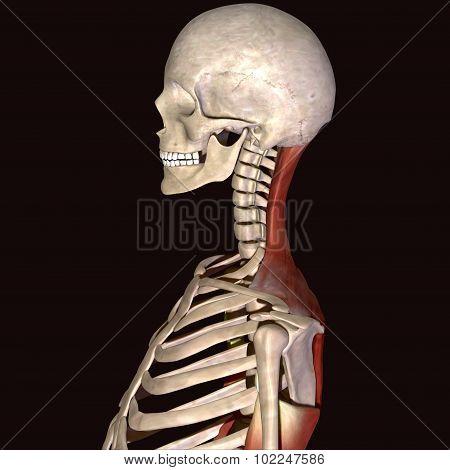 skeleton ribs