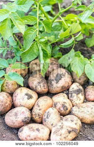 potato field vegetable with tubers in soil dirt surface background poster