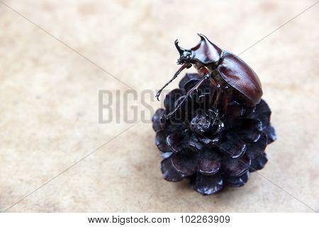 Big Unicorn Beetle On Dry Pine Cones