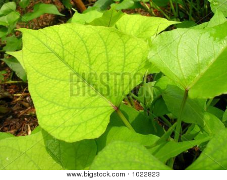 Sweet Potato Leaves
