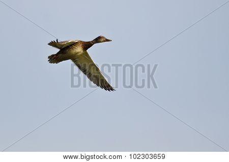 Female Gadwall Flying In A Blue Sky