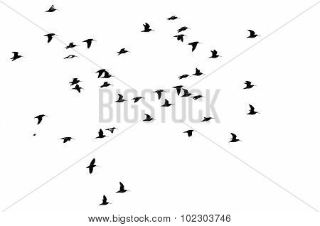Large Flock Of Shorebirds Silhouetted On A White Background