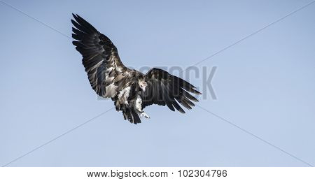 attacking his prey Vulture on clear blue sky