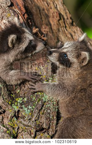 Two Young Raccoons (procyon Lotor) Nose To Nose
