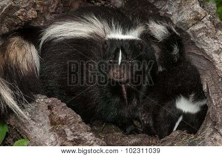 Mother Striped Skunk (mephitis Mephitis) Sits On Kit In Log