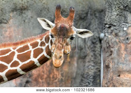 Giraffe With Puffy Cheeks