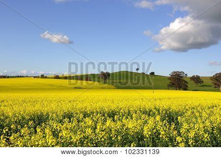 Golden Canola Flowering In Springtime