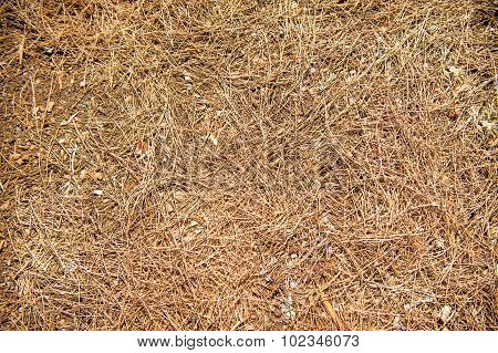 Natural Undergrowth Background With Pine Needles