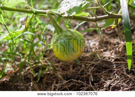 Organic eggplant on tree in garden