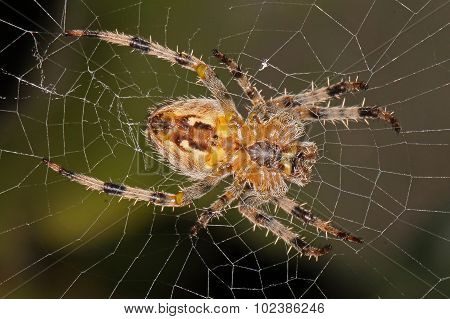 Spider Sitting In Its Web.