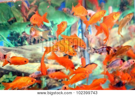 Goldfish In An Aquarium For Sale In The Pet Store