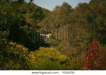 poster of beautiful scarlet macaw flying freely above the trees