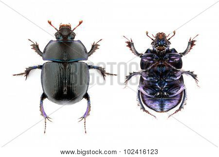 The Dung Beetle (Anoplotrupes stercorosus) isolated on white background.