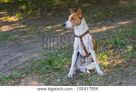 Basenji dog sitting on the ground