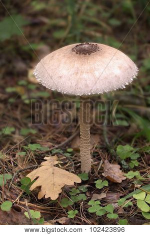 Parasol mushroom on an autumn forest background poster