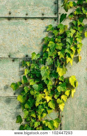Green and yellow ivy on a fiberboard wall