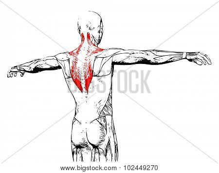 Concept or conceptual 3D back human anatomy or anatomical and muscle isolated on white background poster