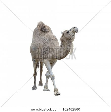 Single-Humped Camel Isolated On White Background
