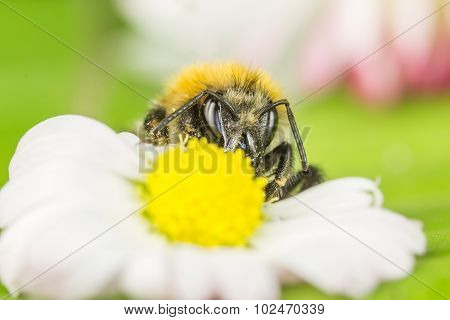 Bee Collect Honey From Petal