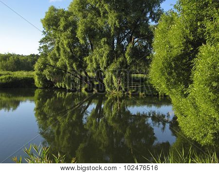 Lake And Willow Trees