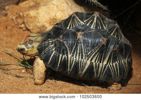 Radiated tortoise (Astrochelys radiata). Wild life animal.  poster