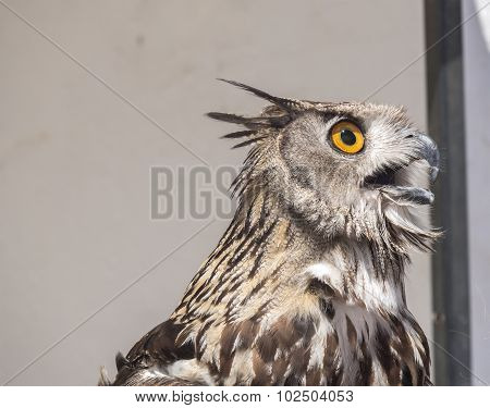 Eurasian Eagle-Owl Bubo bubo, with open beak poster