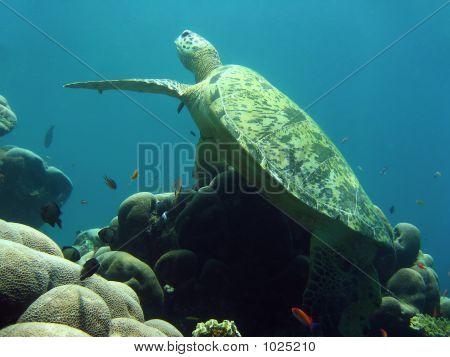 Sipadan Green Turtle