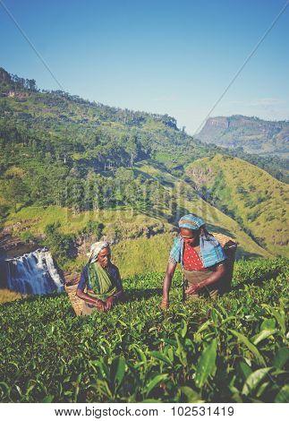 Sri Lankan Women Picking Tea Leaves Concept