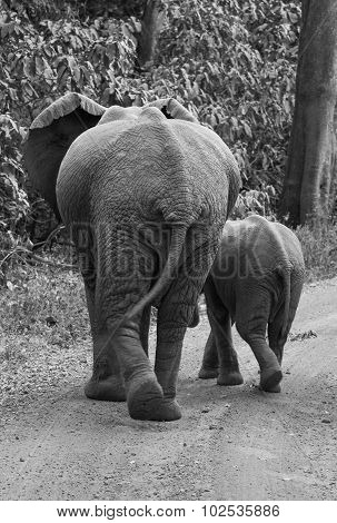 Elephant and Calf Walking