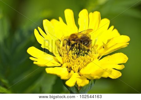 Bumblebee On Yellow Blossom