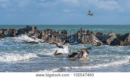 Coastal Brown Pelicans