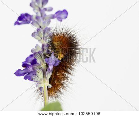 Hungry Caterpillar Eats Purple Flowers